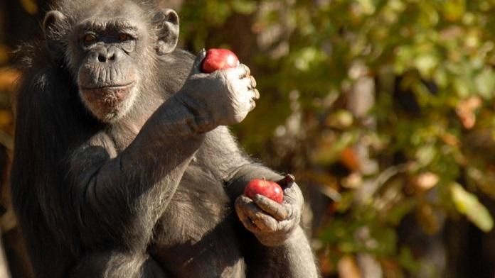 La scimmia e le mele di plastica - Anonimo