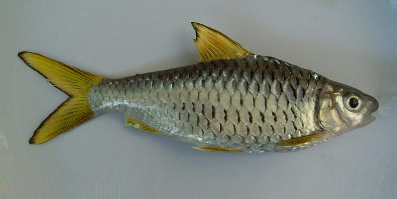 Ikan Ikan: Ikan Wader rasanya Khas dan Gurih