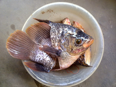 Budidaya Ikan Gurami