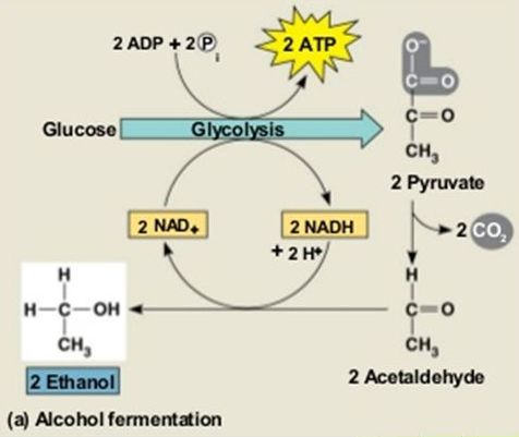 cellular respiration through alcoholic fermentation Even though they both do not use oxygen and have similar parts to them, there are some differences between fermentation and anaerobic respiration learn more.