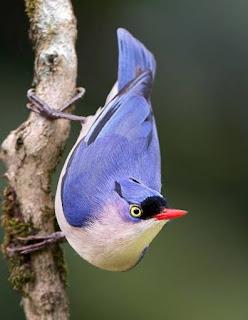 Suara Masteran Burung Rambatan