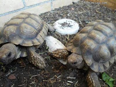 Tortugas argentinas - Chelonoidis chilensis