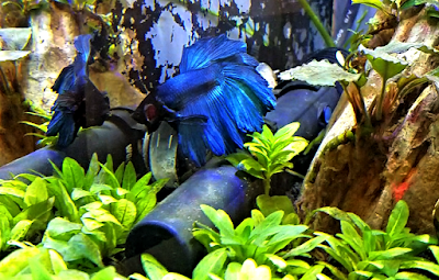 Betta fish flaring at his aquarium reflection