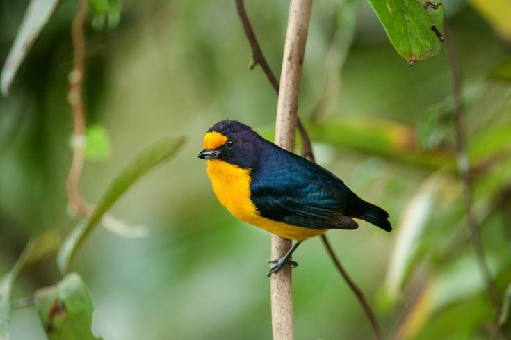 Top 5 aves da Mata Atlântica para você conhecer - Natureza e Conservação IP85