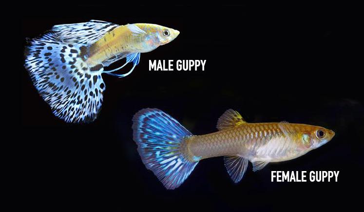 Гуппи виды самки