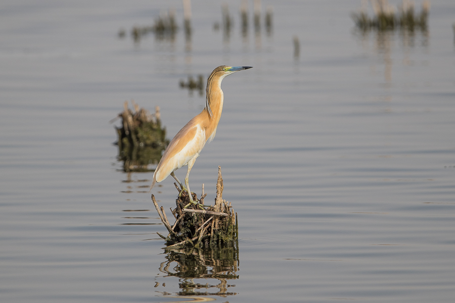 Could Squacco Heron be Breeding? – Jubail