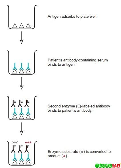 Principle of indirect solid-phase enzyme immunoassay for antibody detection.