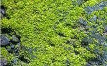 Ciri-Ciri Tumbuhan Thallophyta