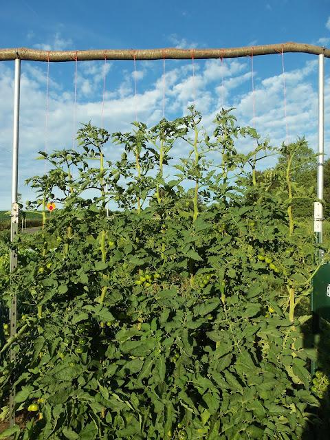 tomato string garden trellis