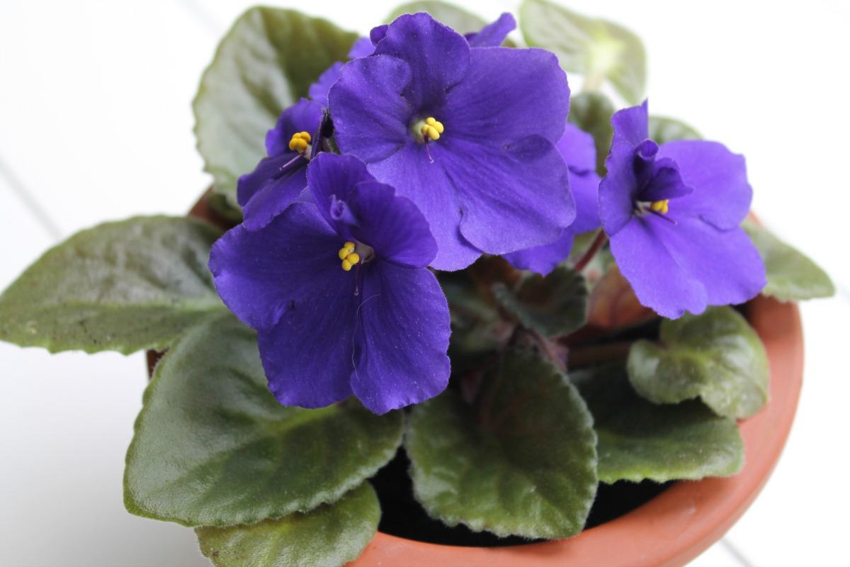 African-Violet.IMG_3945.jpg