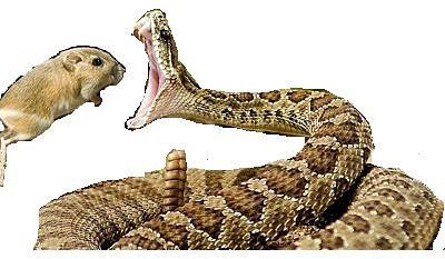 Mira como esta rata canguro 'Ninja' destruye a la serpiente cascabel