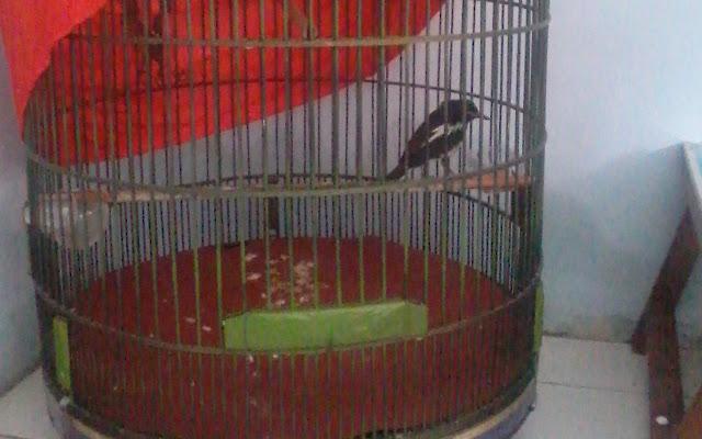 Pada burung kacer yang mencabut bulu ekor bukan merupakan hal yang alami melainkan ada seb Mengatasi Burung Kacer Cabut Bulu Ekor