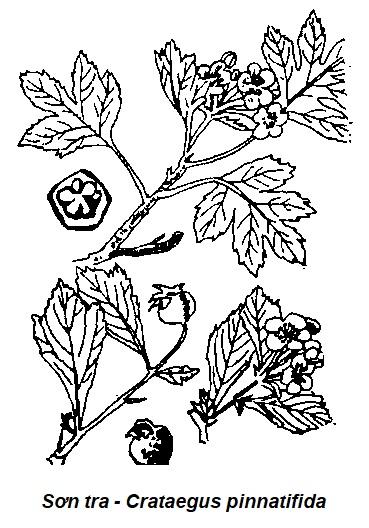Hình vẽ Sơn tra - Crataegus pinnatifida - Nguyên liệu làm thuốc Chữa Bệnh Tiêu Hóa