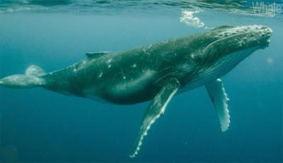 Whale sea animal