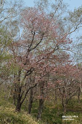 新緑に彩りを添えるエゾヤマザクラ ≪Sargent Cherry≫