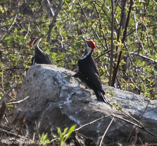 'A Bestiary' ~ Pileated Woodpecker (Dryocopus pileatus)