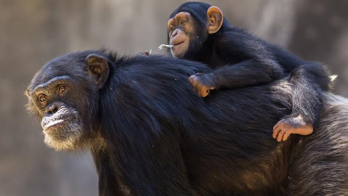 Wallpaper: Chimpanzee Mom with Cub