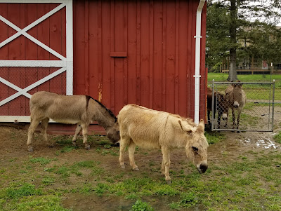 Four miniature donkeys standing next to a red barn