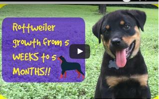 Rottweiler Puppy Growth