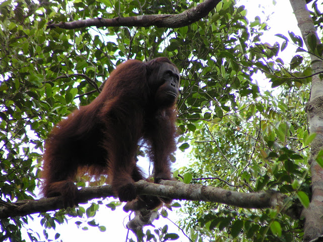 Despite Indonesian government claims, orangutan populations have not increased