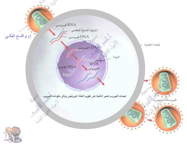 التكاثر فى الفيروسات فى خلايا العائل