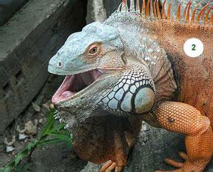 Vào mùa sinh sản rồng nam mỹ đực sẽ chuyển sang màu da cam