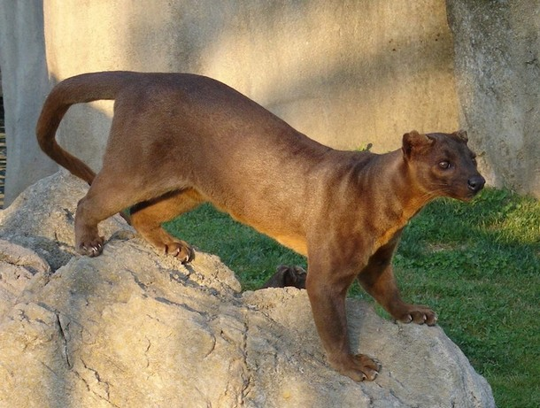 Real Animals You Didn't Know Exist The Fossa