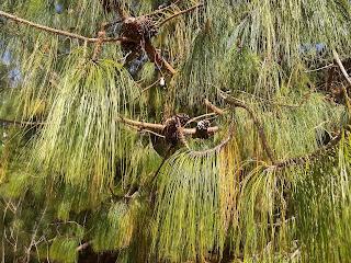Pinus armandii, Pino chino
