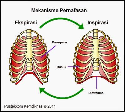 Sistem Pernafasan Perut dan Dada