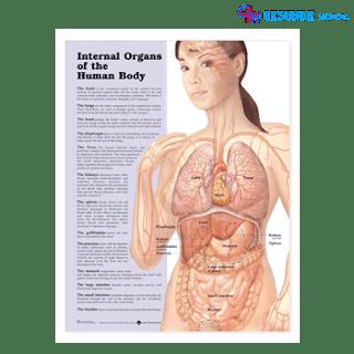 Anatomical Chart Organ Internal Tubuh Manusia