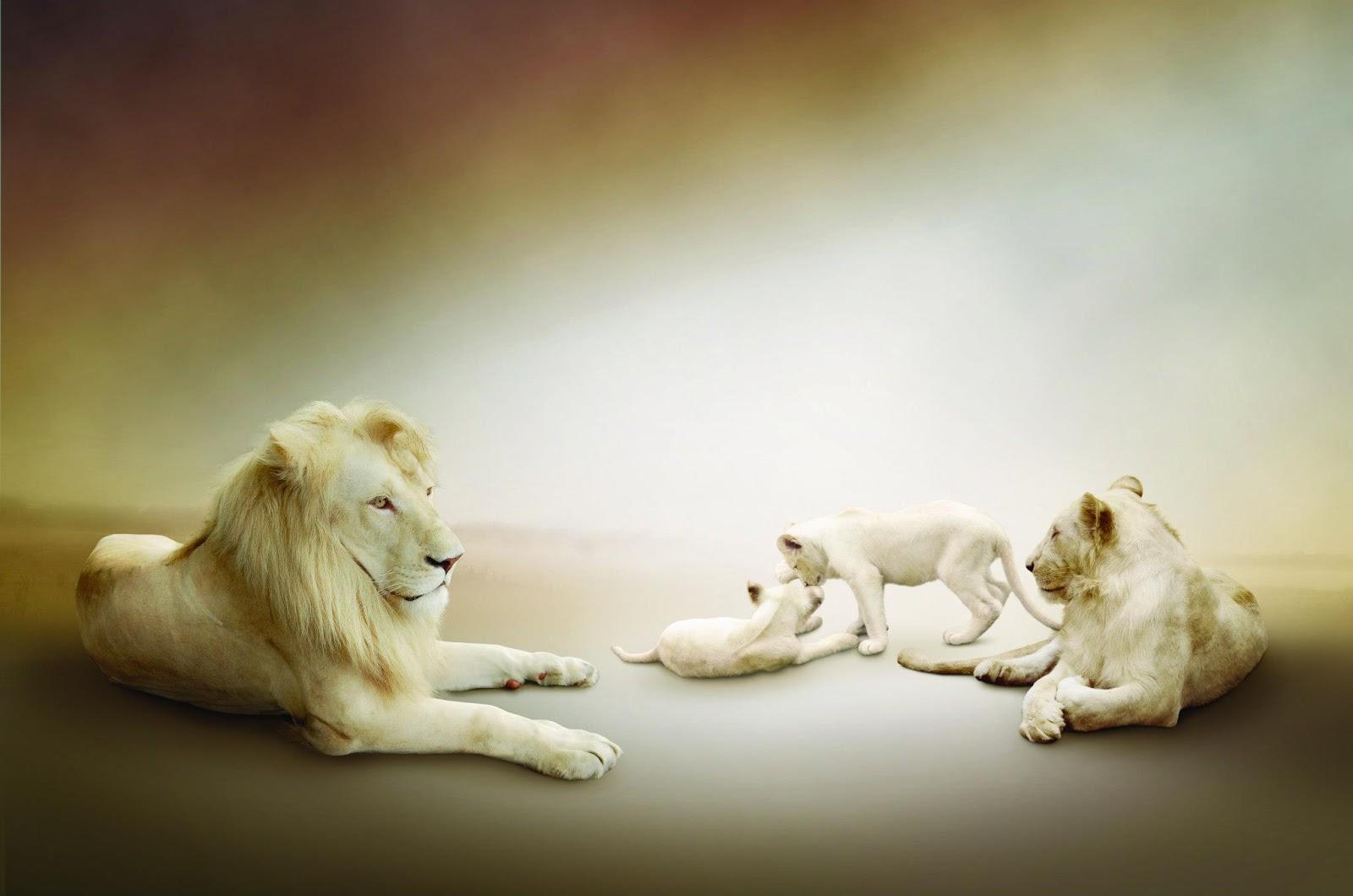 Fondo HD de leones salvajes.