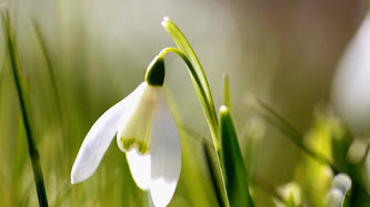 Wallpaper: Snowdrop and Spring is coming
