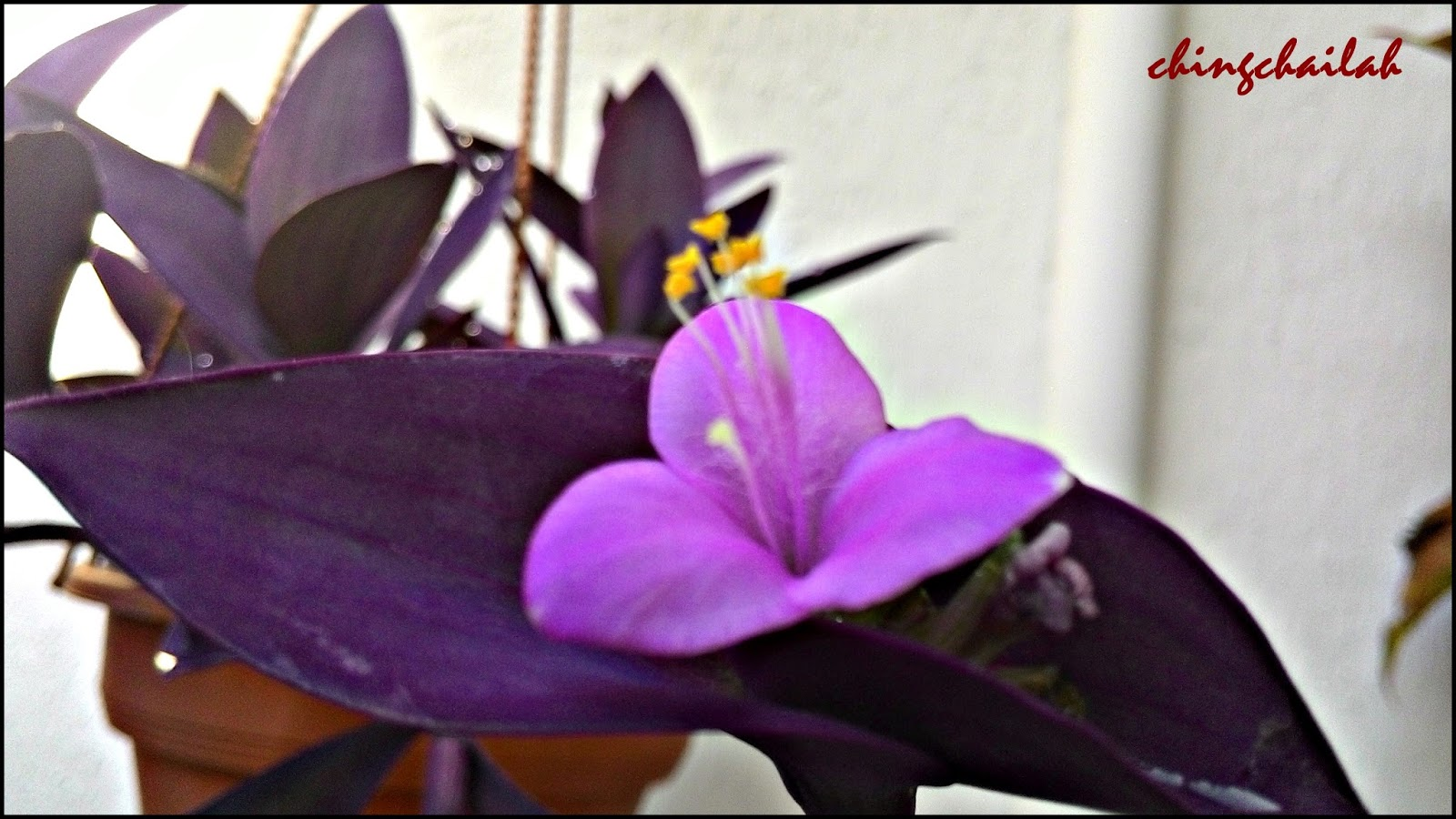 Simple Living In Nancy: Purple s Growing In My Garden on purple wildflower names, purple leaf names, purple vegetables names, purple ground cover names, purple vine names, purple foliage plants names, purple orchid names, purple butterfly names, purple fish names, purple tree names, purple bromeliad names,