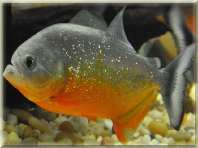 yellow king piranha fish (Serrasalmus Ternetzi) pictures
