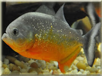 Yellow King Piranha Fish Pictures