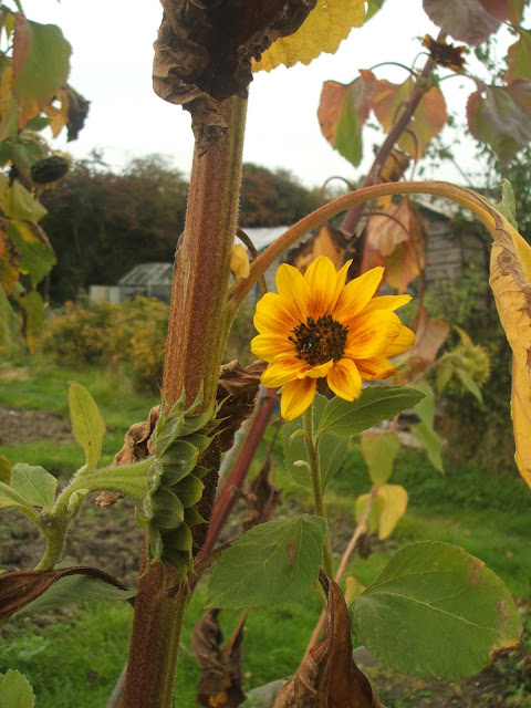 fading sunflowers on the allotment in october