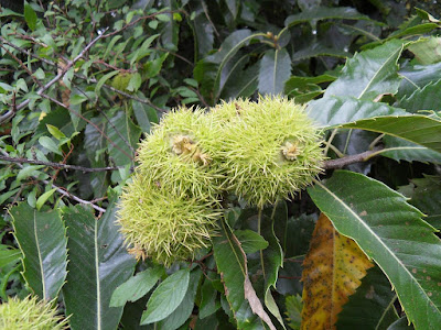 prickly-chestnut-castanea-sativa