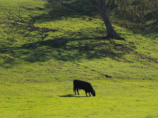 Cow in Paso Robles