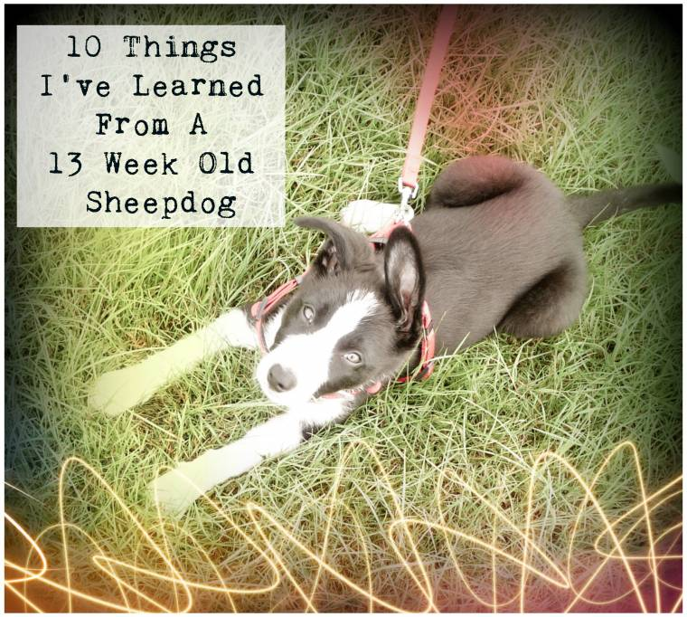 10 Things I've Learned From A 13 Week Old Sheepdog