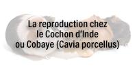 La reproduction chez le Cochon d'Inde ou Cobaye (Cavia porcellus)