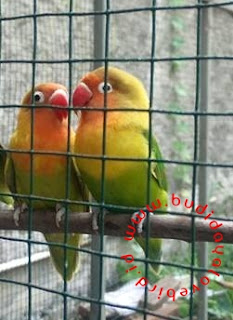 Cara Menjodohkan Burung Lovebird Yang Baik Dan Benar