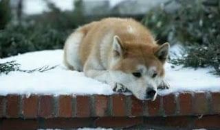 Hachiko, Si Anjing Setia Seumur Hidupnya