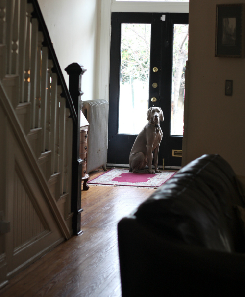 Testing Solutions for our Weimaraner's Separation Anxiety | 17 Apart