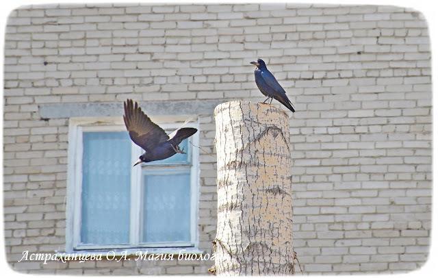 грачи пенек окно, стена, тополь, обрезка, полет, крылья, черный