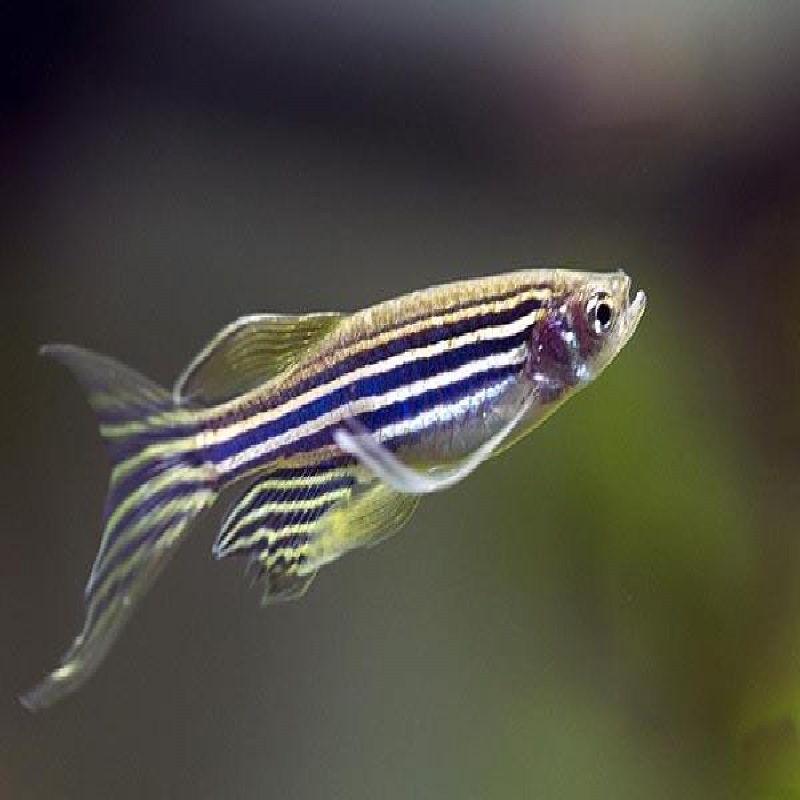 ikan zebra air tawar