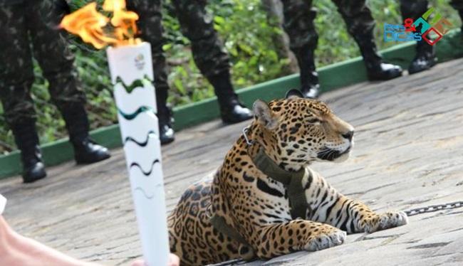 Onça é morta em Manaus após evento da Tocha Olímpica