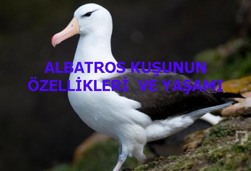 ALBATROS KUŞUNUN ÖZELLİKLERİ  VE YAŞAMI
