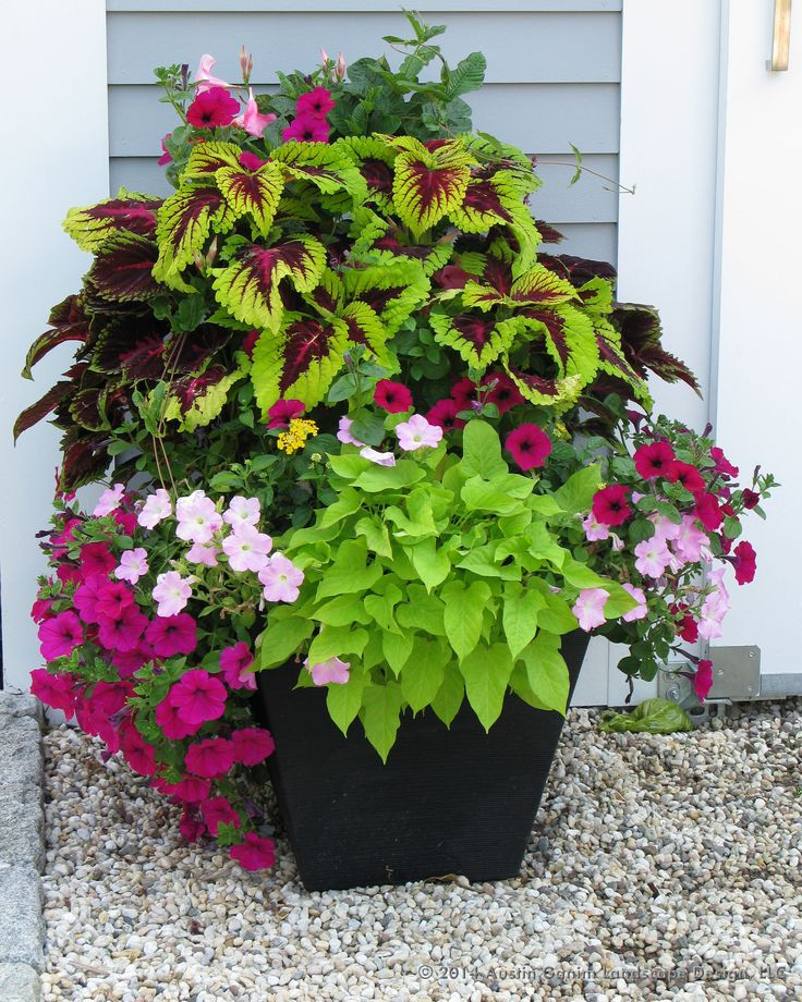 Heyplantman exotic tropical plants from st pete fl summer market coleus succulents and more - Growing petunias pots balconies porches ...