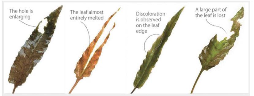 lá bị rách hoặc xuống màu ở mép lá