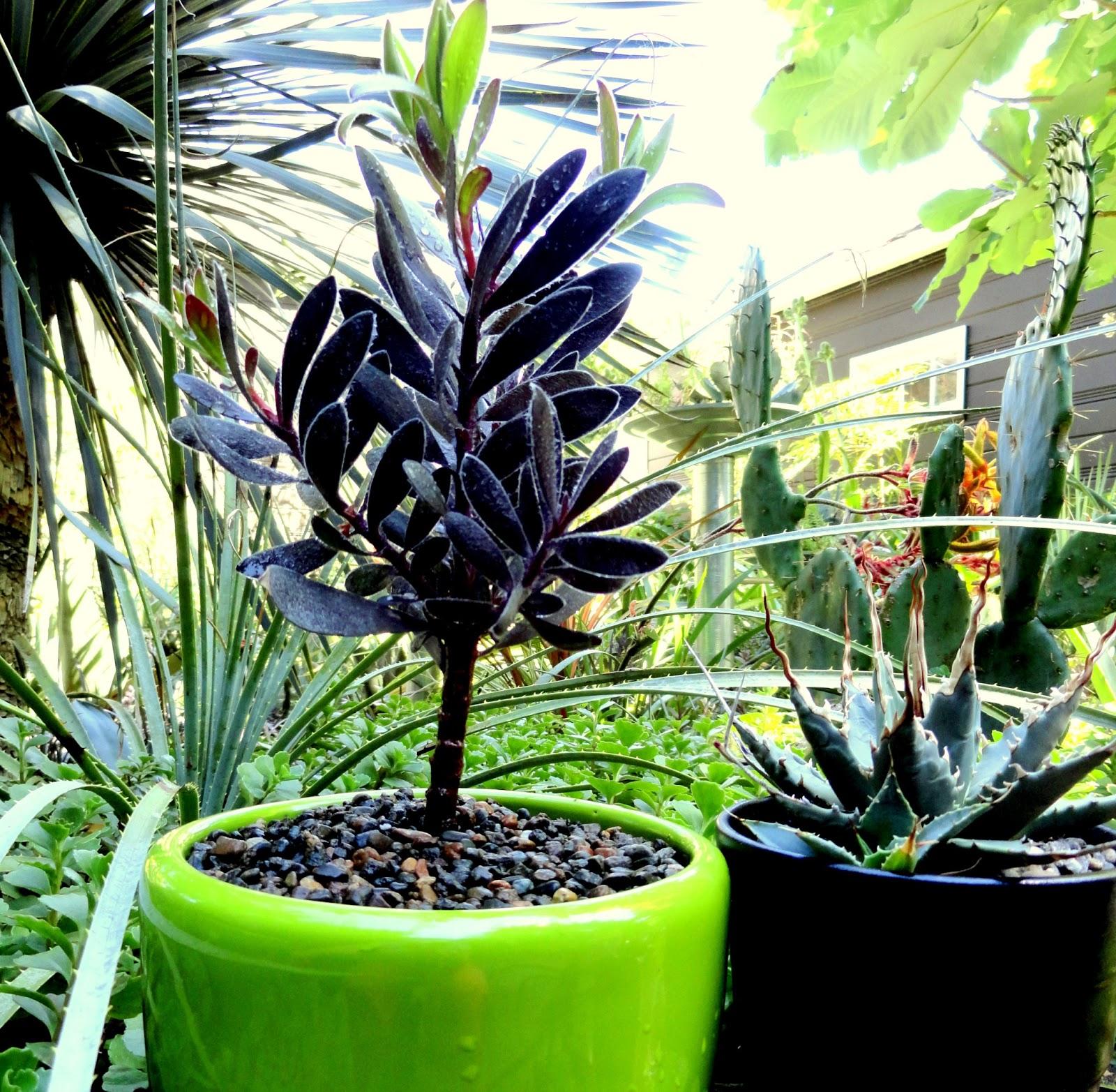 Danger Garden Leucadendron Ebony My Fav Plant This Week